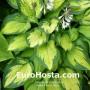 Hosta Paul´s Glory - Eurohosta