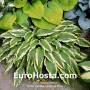 Hosta Pee Dee Laughing River - Eurohosta