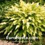 Hosta Pineapple Upsidedown Cake - Eurohosta