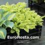 Hosta Platinum Tiara - Eurohosta