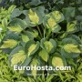 Hosta Pocketful of Sunshine - Eurohosta