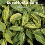 Hosta Powder Keg - Eurohosta