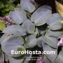 Hosta Prairie Sky - Eurohosta