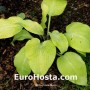 Hosta Prarie Moon