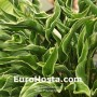 Hosta Praying Hands - Eurohosta