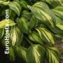 Hosta Rainbow's End - Eurohosta