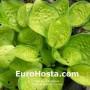 Hosta Rainforest Sunrise - Eurohosta