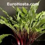 hosta red dog - eurohosta