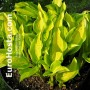 Hosta Red Hot Flash