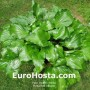 Hosta Red Stepper