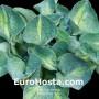 Hosta Rhino Hide - Eurohosta