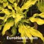 Hosta Ripple Effect - Eurohosta