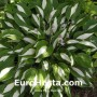 Hosta Risky Business - Eurohosta