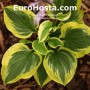 Hosta Riviera Sunset