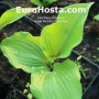 Hosta Rocket's Red Glare - Eurohosta
