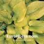 Hosta Rosedale Golden Gooser - Eurohosta