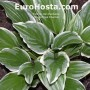 Hosta Royal Charmer