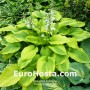 Hosta Royal Flush - Eurohosta