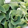 Hosta 'Ruffled Mouse Ears' - Eurohosta