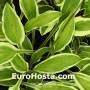 Hosta Scooter - Eurohosta