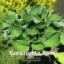 Hosta Second Wind - Eurohosta