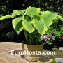 Hosta Seducer - Eurohosta