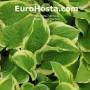 Hosta Shade Fanfare - Eurohosta