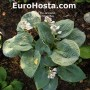 Hosta Silver Bay - Eurohosta