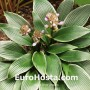 Hosta Silver Shadow - Eurohosta