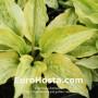 Hosta Silver Treads and Golden Needles - Eurohosta
