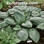 Hosta Skylight - Eurohosta