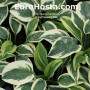 Hosta Sleeping Star - Eurohosta