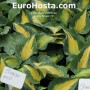 Hosta Smash Hit - Eurohosta