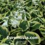 Hosta Snow Cap - Eurohosta