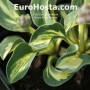 Hosta Snow Mouse - Eurohosta