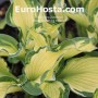 Hosta Something Different - Eurohosta