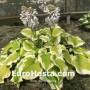 Hosta Spring Morning - Eurohosta