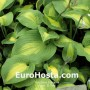 Hosta St. Paul - Eurohosta