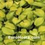 Hosta Stained Glass - Eurohosta