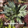 Hosta Stand by Me - Eurohosta