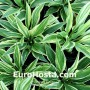 Hosta Striped Weasel - Eurohosta
