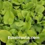 Hosta Sum and Substance - Eurohosta