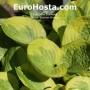 Hosta Summer Breeze - Eurohosta