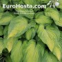 Hosta Summer Serenade - Eurohosta