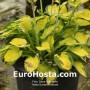 Hosta Sunset Grooves - Eurohosta