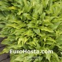 Hosta Tattle Tails Eurohosta