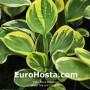 Hosta Tea and Crumpets - Eurohosta