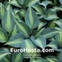 Hosta Touch of Class - Eurohosta