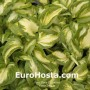Hosta Trifecta - Eurohosta