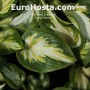 Hosta Trifecta - Eurohosta
